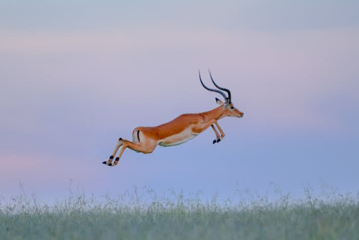 Male impala leaping above the ground with perfect elegance