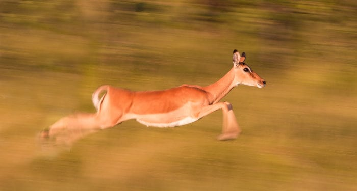 Female impala running at full speed