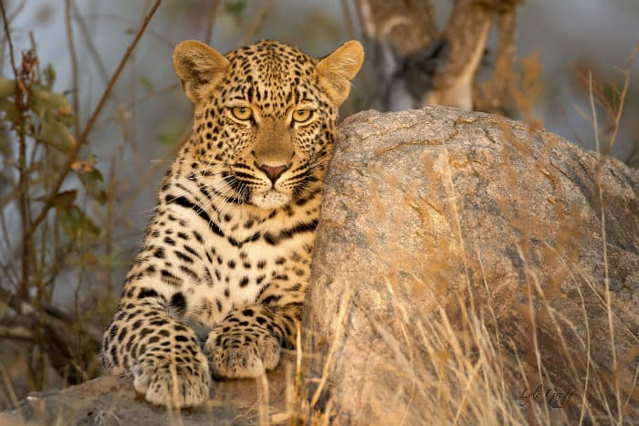 Magnificent leopard resting on a rock