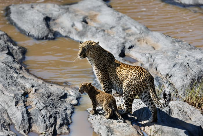 Leopard Bahati with cub, along the Olare Orok river