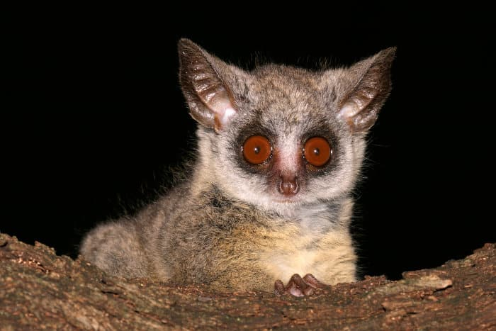 Portrait of a nocturnal lesser bushbaby