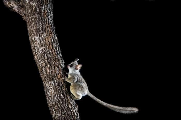 Lesser bushbaby lands on a branch