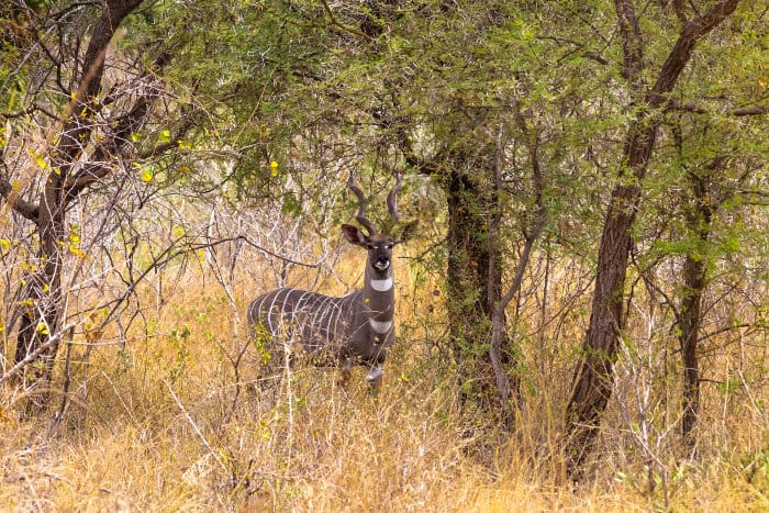 Male lesser kudu in the thickets