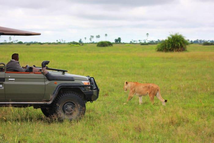 Lioness walks past a safari vehicle on Chief's Island, Moremi