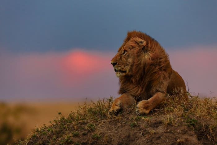 Lion at sunset in the Masai Mara