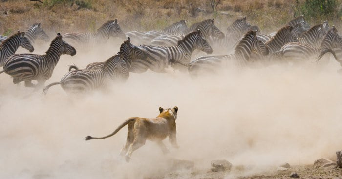 Lioness chases zebra in cloud of dust