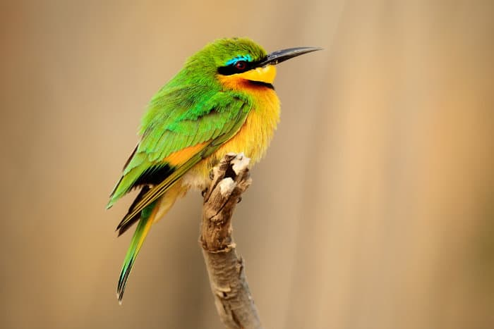 The little bee-eater is one of the smaller bird species of Sub-Saharan Africa