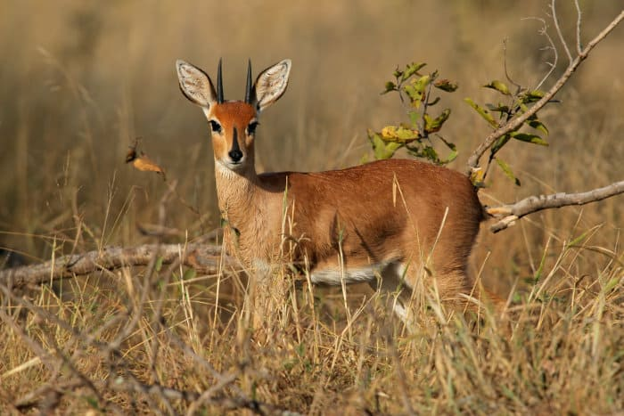 Male steenbok in the Kruger park