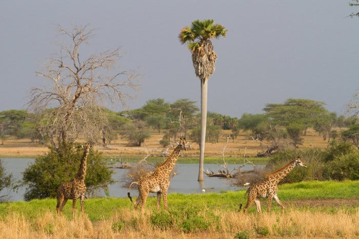 Masai giraffe in the Selous Game Reserve