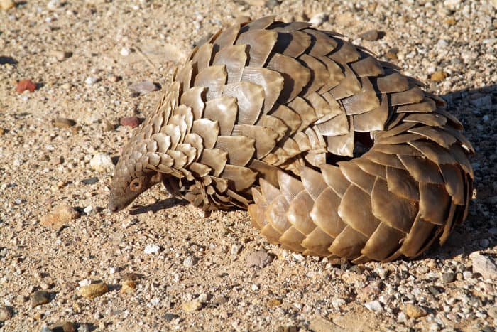 Pangolin photographed in the Northern Cape region of South Africa