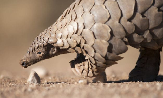 26 fascinating pangolin facts – Guide to the world's most trafficked animal