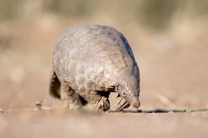 Pangolin looking for ants in the sand