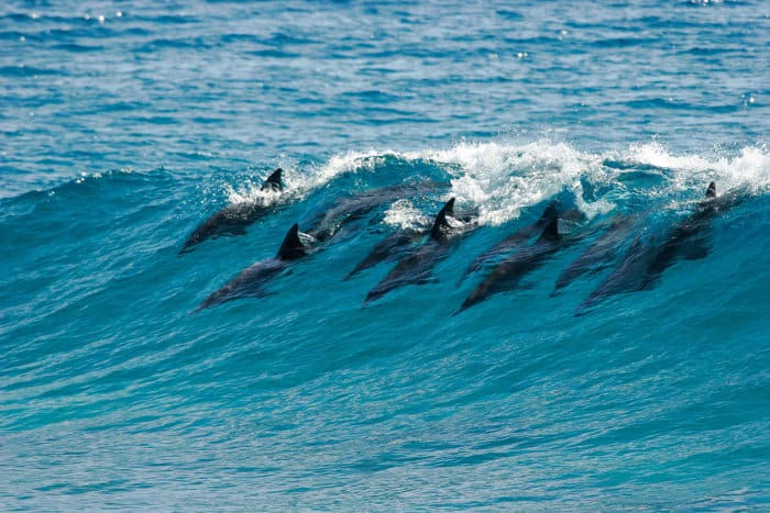 Pod of dolphins catch a wave and surf in it in Mozambique