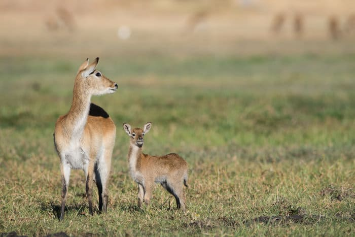 Red lechwe with baby in Moremi