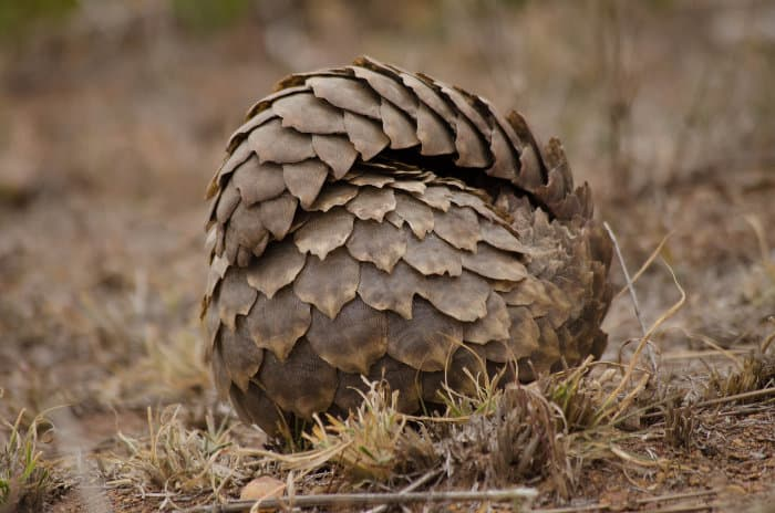Pangolin rolled up like a soccer ball