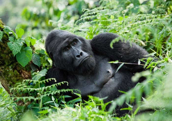 Big silverback mountain gorilla in Bwindi forest