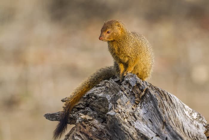 Slender mongoose resting on a tree stump