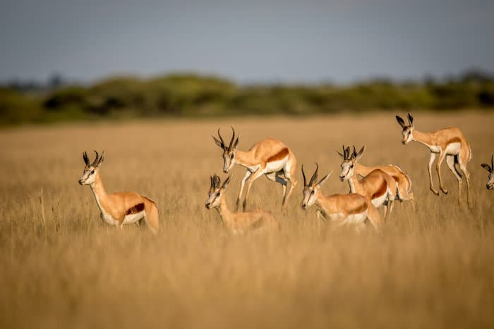 Herd of springbok pronking in the Central Kalahari Game Reserve