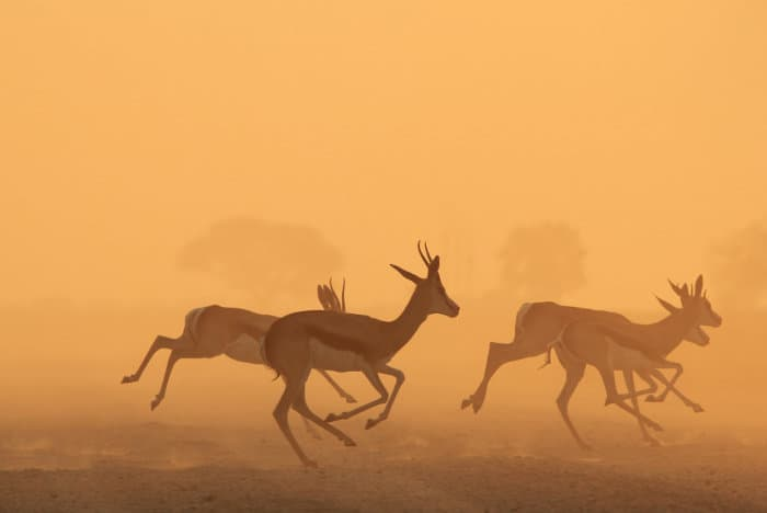 Herd of springbok running against golden sunset