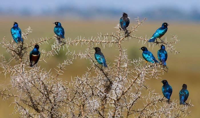 Superb starling resting in an Acacia tree in Tanzania