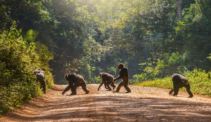 Group of chimpanzees cross a dirt road, with one of them walking upright