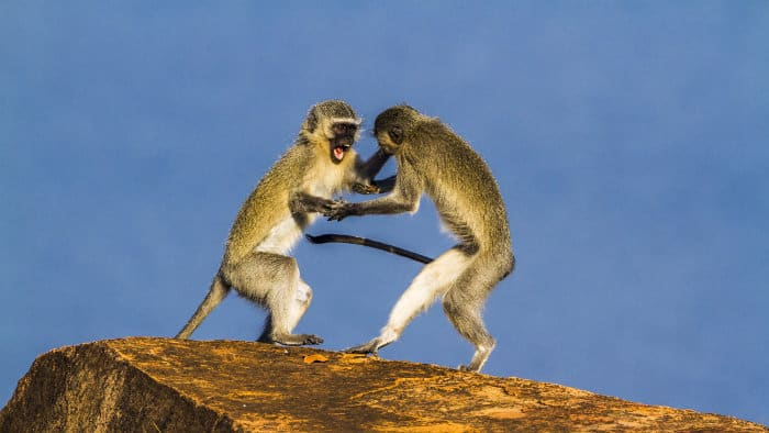 Vervet monkeys arguing on top of a kopje