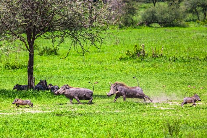 Warthog family having fun