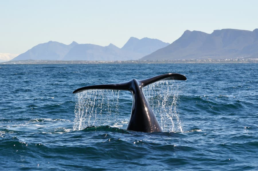 Hermanus whale watching – Everything you need to know