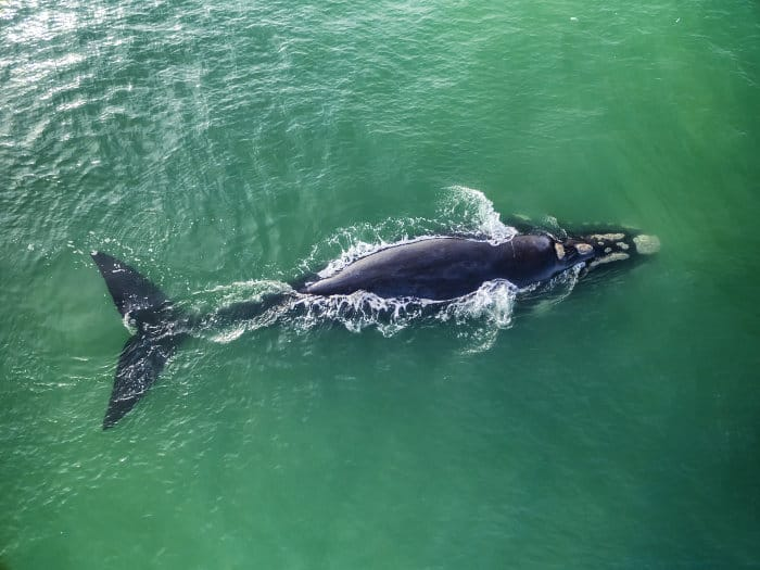 Southern right whale pictured from the air