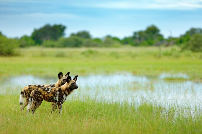 African wild dogs photographed in Moremi, Botswana