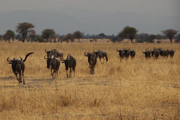 Wildebeest in Tarangire, in the dry season