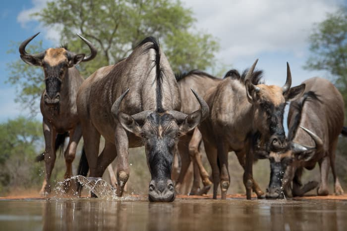Herd of wildebeest drinking, at surface level