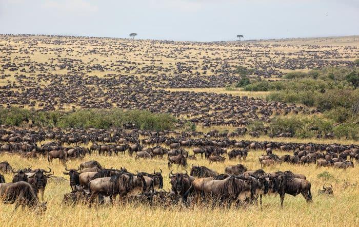 Thousands of wildebeest across the Maasai Mara plains