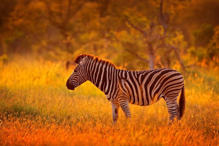 Zebra in early evening light