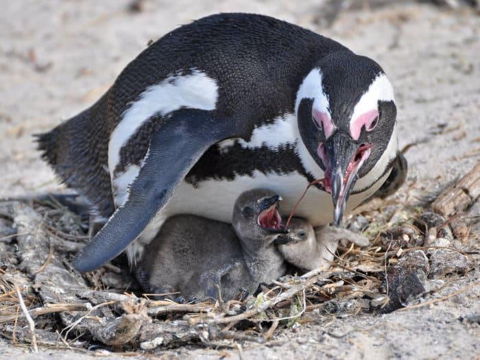 African penguin regurgitates food for its chicks
