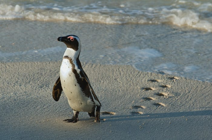 African penguin reaches the shore, leaving beautiful footprints in the sand