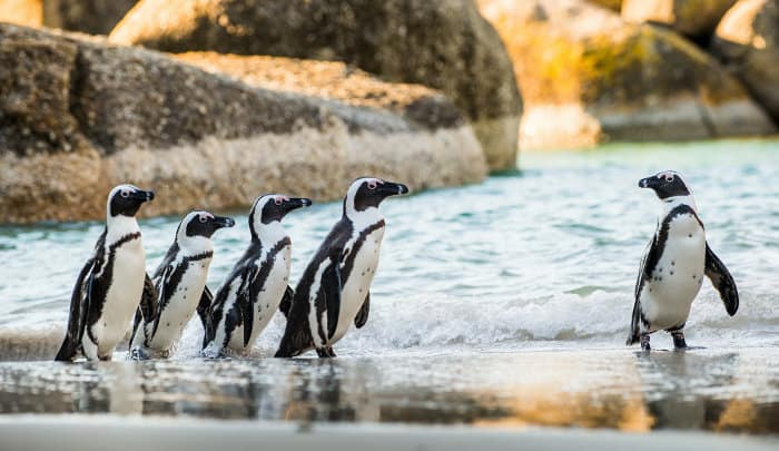Five African penguins about to take a swim, Boulders Beach