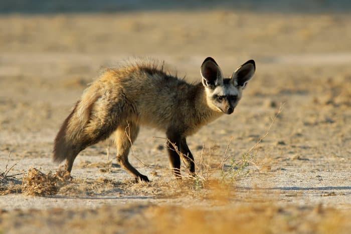 Bat-eared fox in the Kalahari desert