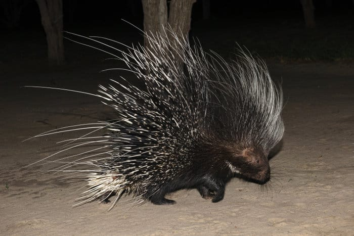Cape porcupine photographed at night in Botswana