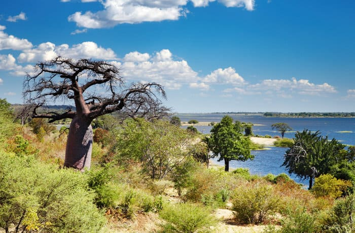 Typical vegetation around the Chobe river area, with lone Baobab tree