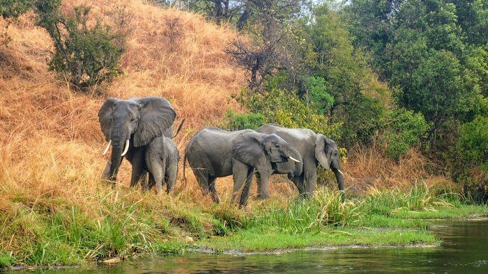Elephant family comes down for a drink near Murchison Falls
