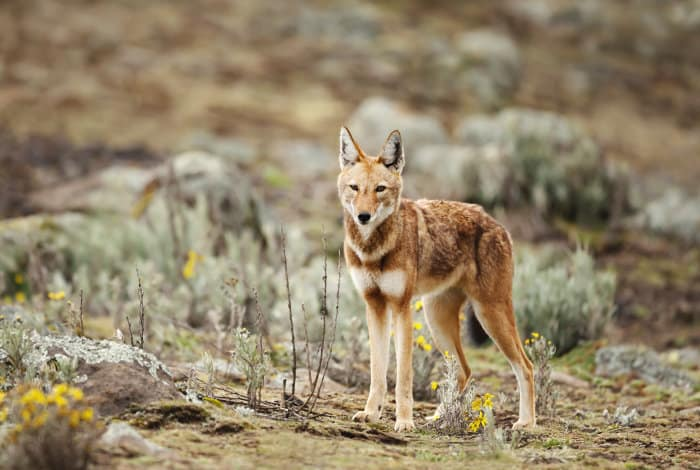 Close-up of a rare Ethiopian wolf in the Bale Mountains