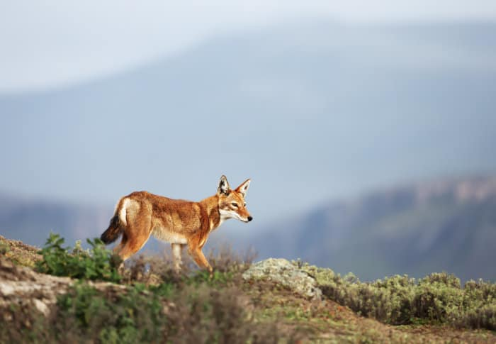 The Ethiopian wolf is a canid native to the Ethiopian Highlands
