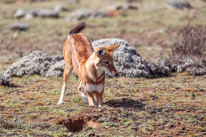 Ethiopian wolf hunting down some grass rats