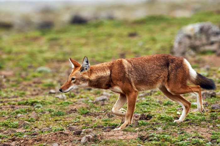 Ethiopian wolf on the move