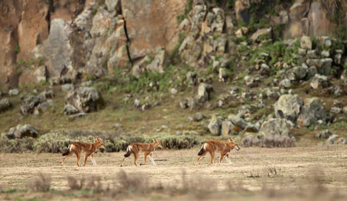 Pack of Ethiopian wolves in the Bale Mountains