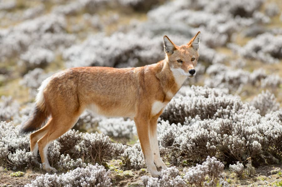 The Ethiopian Wolf – Soon to be a mountain-dwelling memory?