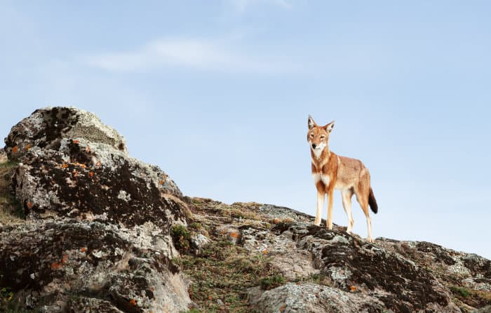 The estimated population of Ethiopian wolves is down to less than five hundred individuals
