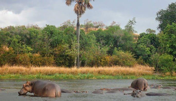 Hippo pod in Murchison Falls