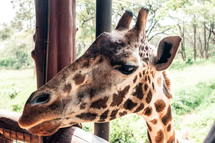 Rothschild's giraffe poking its head through the platform to say hi